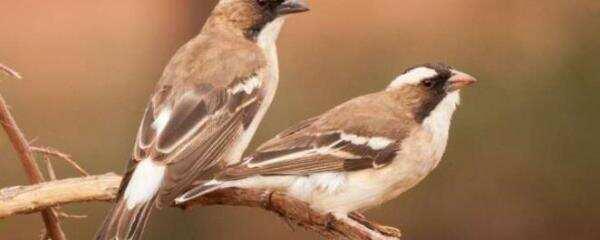 沙漠团队合作解释了鸟类合作的全球模式